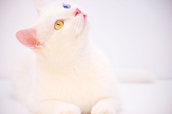 Gato blanco con ojos de diferentes colores