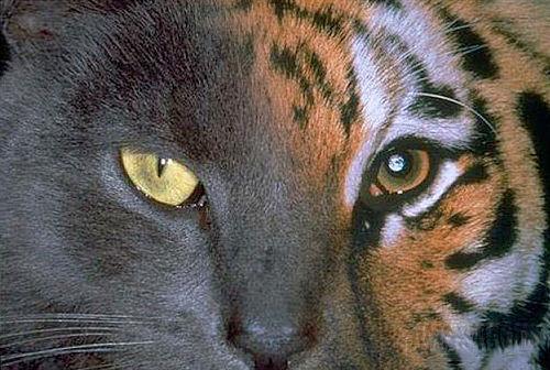 Fotomontaje gato-tigre