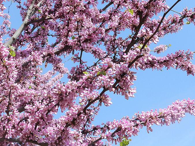 Árbol con flores rosas - Primavera